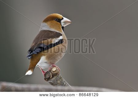 Coccothraustes coccothraustes, hawfinch perched on a branch, Vosges, France