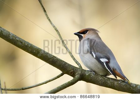 Bombycilla garrulus, bohemian waxwing standing on a branch, Vosges, France