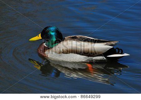 Mallard Duck: Drake
