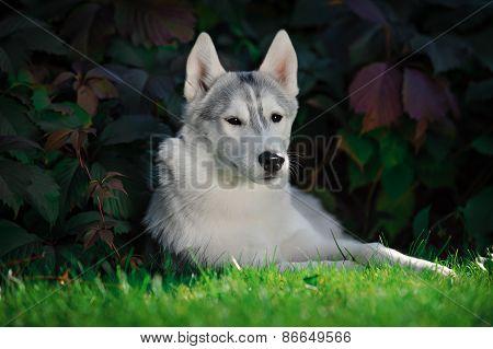 Majestic Portrait Of Grey Black Purebread Husky Dog Lying On Green Grass