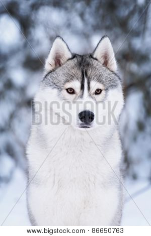 Purebred Husky In Winter