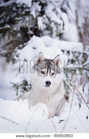 Purebred Husky In Winter