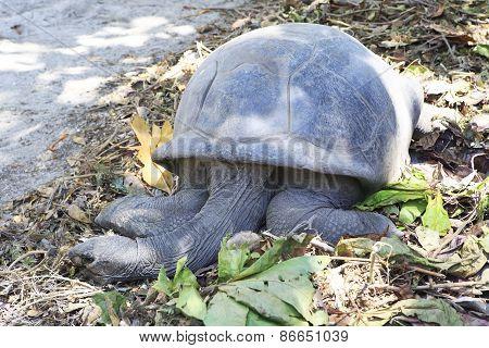 Aldabra giant tortoise resting