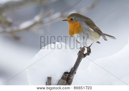 Erithacus rubecula, european robin perched on a snowy branch, France