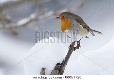 Erithacus rubecula, european robin perched on a snowy branch, France