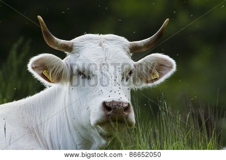 Charolais cow resting in the grass, Vosges, France