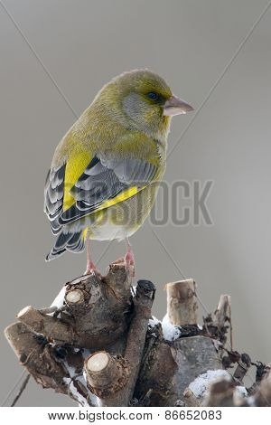 Carduelis chloris,  european greenfinch standing on branch, Vosges, France