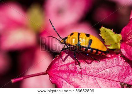 Jewel Bug On Pink Leaf