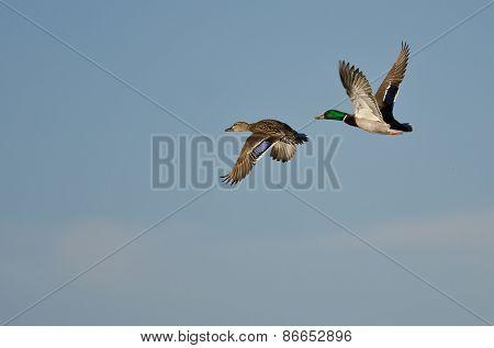 Pair Of Mallard Ducks Flying In A Blue Sky
