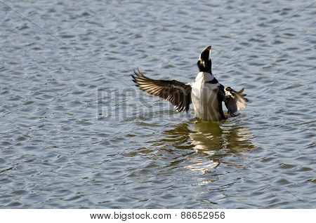Hooded Merganser Floating With Outstretched Wings