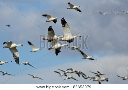 Flock Of Snow Geese Flying In A Cloudy Sky