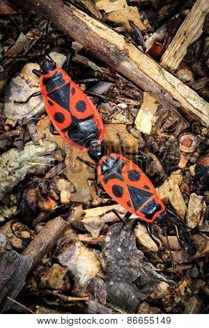 two Pyrrhocoris apterus bugs in forest