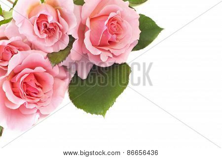 Delicate Pink Roses On White Background