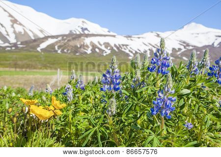 Blue Lupin Flowers On A Background Of Snow Mountains