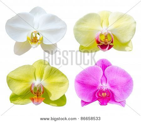 Collection Of Phalaenopsis Orchid Flower.