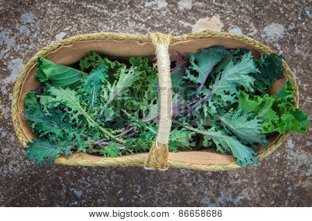 basket of freshly picked organic egological kale