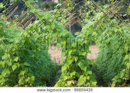 Tropical bean plantation in a Vietnamese organic vegetable garden