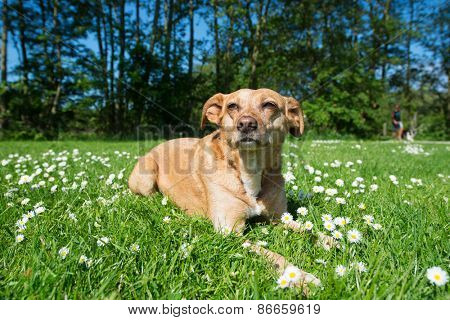 Cross breed dog laying in grass and flowers