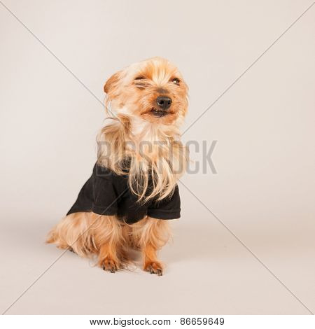 Yorkshire terrier on beige background