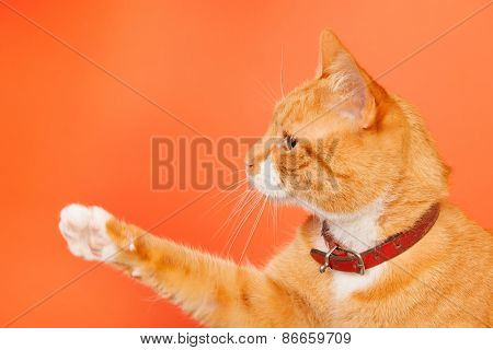 red cat with foot high on orange background