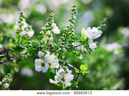 Bunch of white exochorda tianshanica flower with beautiful bokeh