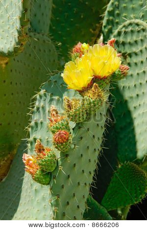 Two Flowers And Several Buds On The Cactus Leaf.