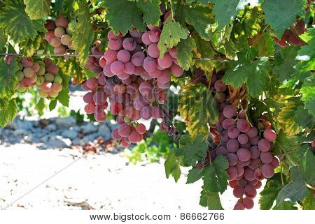 Ripe red grapes on the vine.