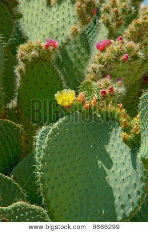 Flowering Cactus Plant.