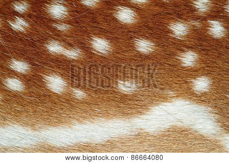 Beautiful Texture Of Fallow Deer Pelt