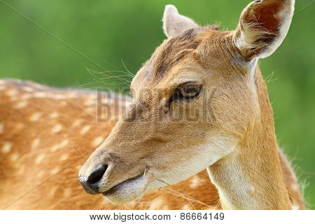 Cute Fallow Deer Doe Portrait