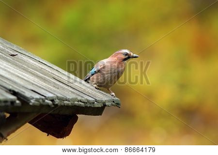 Eurasian Jay On Traditional Roof