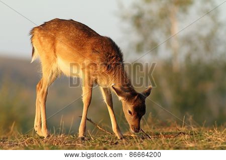 Deer Calf Grazing In Sunset Light