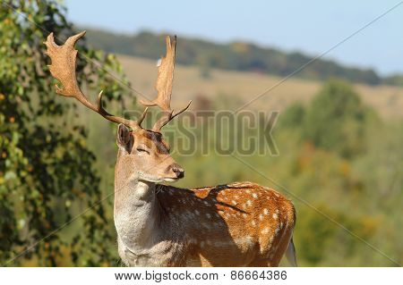 Portrait Of A Male Fallow Deer