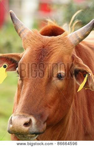 Zebu Head Closeup