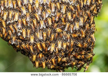 Bee Worker Holding Together For Beehive