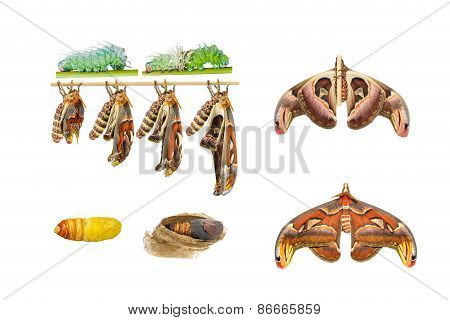 Male Attacus Atlas Moth Life Cycle