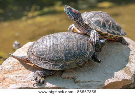 two red ear tortoice close up
