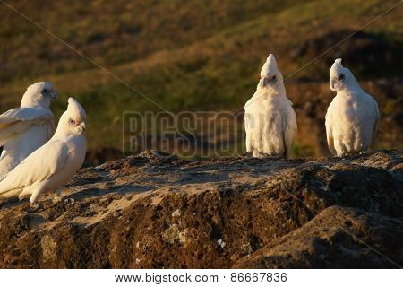 Cockatoo's sitting on large rock.