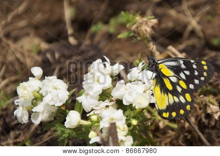 A Pieridae Butterfly in Spring in Bir, India