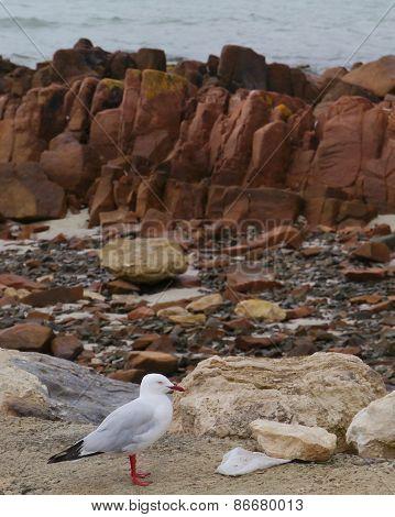 A silver gull at the rocky beach