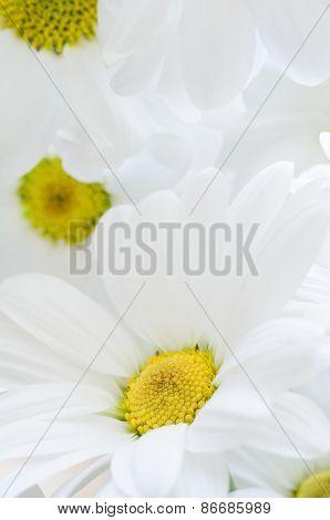 White Chrysanthemums Filling Frame