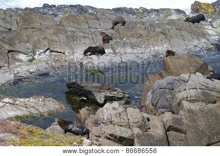 Fur seals on Kangaroo island