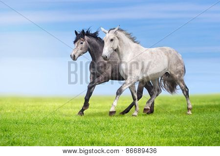 Horses run in pasture at summer day