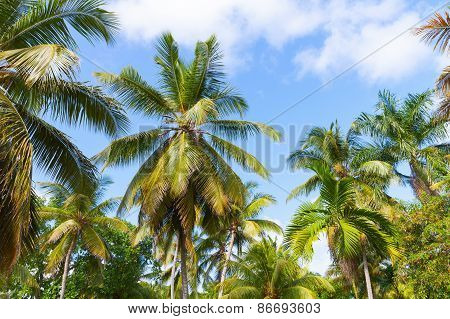 Forest Of Palm Trees Over Cloudy Blue Sky Background