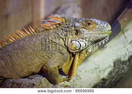 Green Iguana (iguana Iguana) On Wood