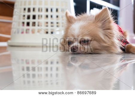Chihuahua lonely