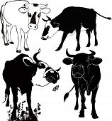 picture of calf cow  - cow farm farm animals vector Isolated on white background - JPG