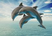 foto of jumping  - three jumping dolphins - JPG