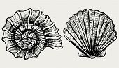 image of scallop shell  - Sea snail and scallop shell - JPG