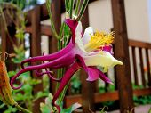 picture of columbine  - A close up of a purple and white columbine - JPG